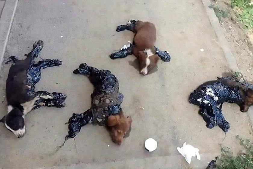 Crueldade! Cachorros são encontrados presos ao chão com pich