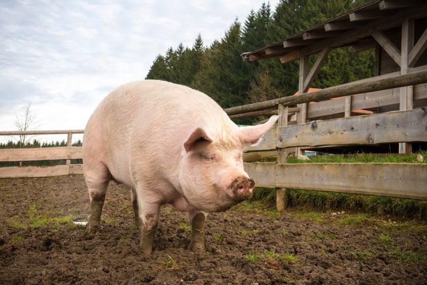 porco em fazenda