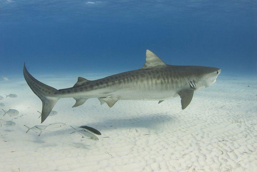 Resultado de imagem para tubarões-tigre