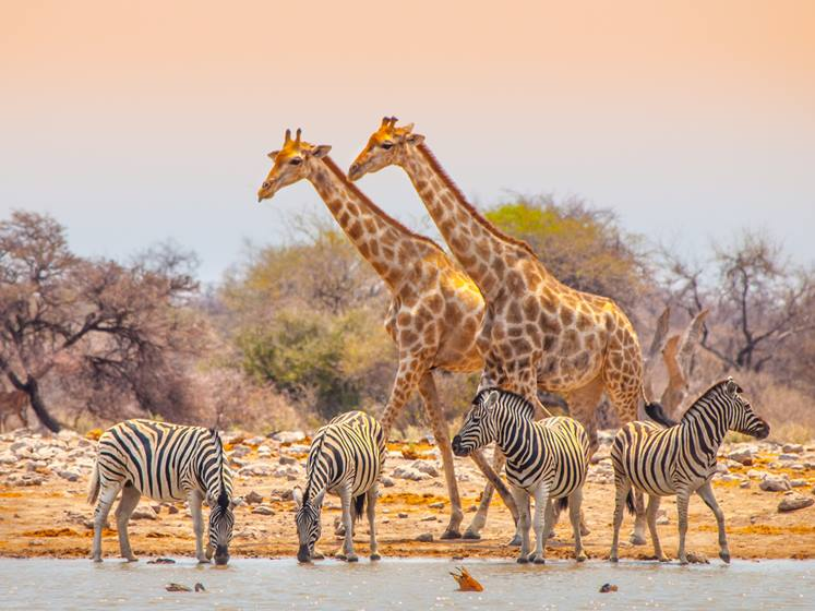Giraffes and zebras at waterhole NAMIBIA