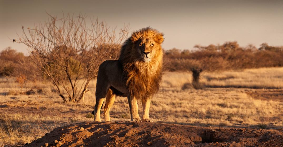 Lion standing on a hill NAMIBIA