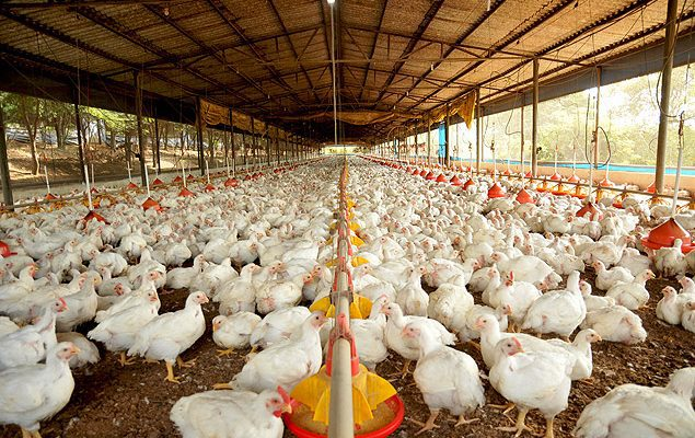 free range chicken farming business plan