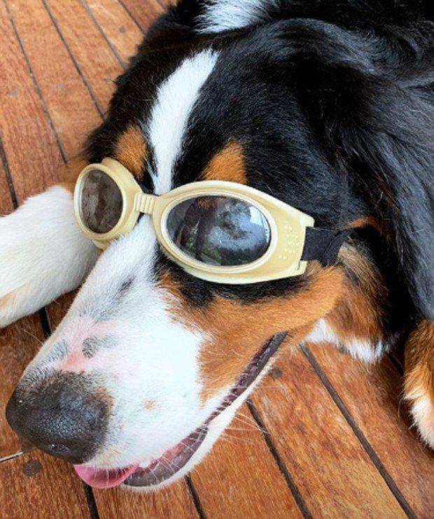 """3ba9e79a77e82 Luciano Huck e Angélica dão óculos para cachorro  """"7 graus de miopia"""""""