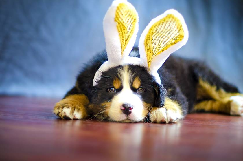 Bernese mountain dog wearing Easter bunny ears