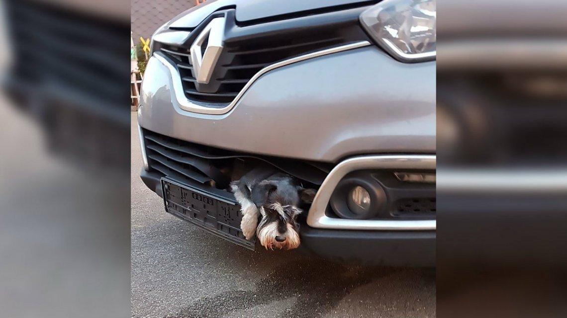 Cachorro Viaja Em Para Choques Após Ser Atropelado