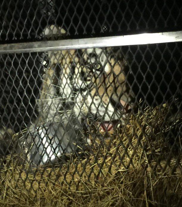 Tigre em casa em Houston