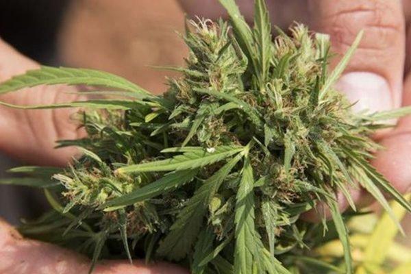 Folhas de cannabis