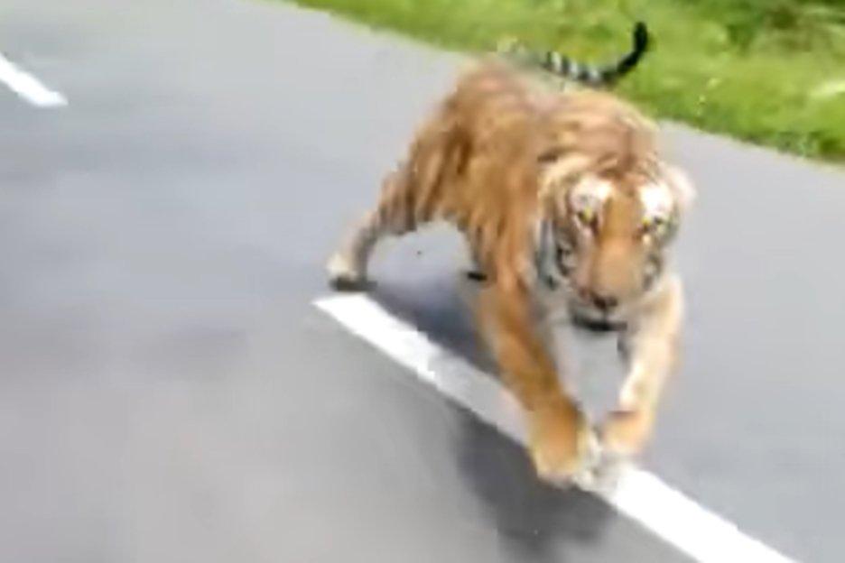 Resultado de imagem para Tigre corre atrás de motociclistas em parque; veja vídeo