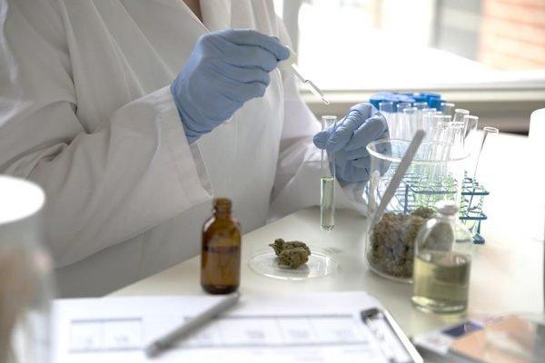 Produção de óleo de cannabis, que trata doenças raras