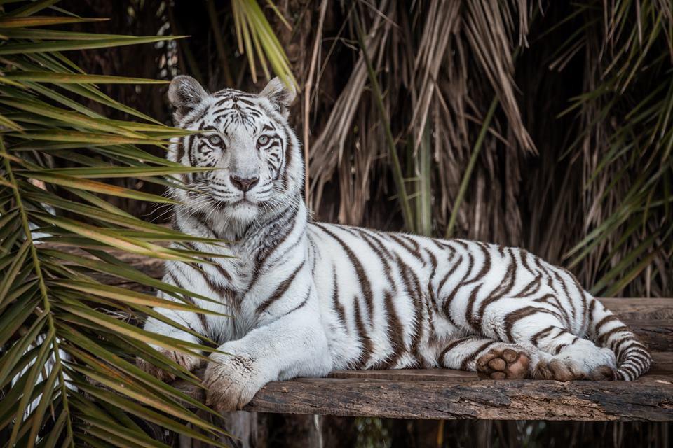 Resultado de imagem para tigres-de-bengala brasilia