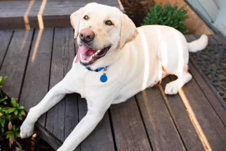 Cachorro labrador retriever