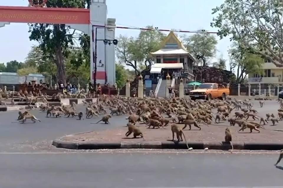 Grupos de macacos andando em rua na Tailândia