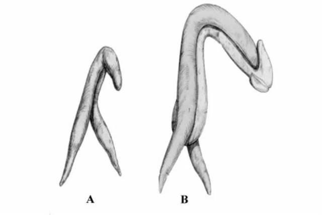 Estruturas do clitóris e do pênis