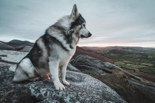 O cão Odin sentado em uma pedra