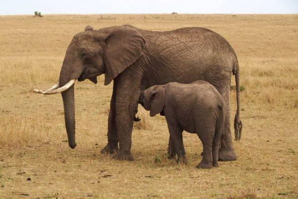 Elefante pequeno mama em uma elefante maior