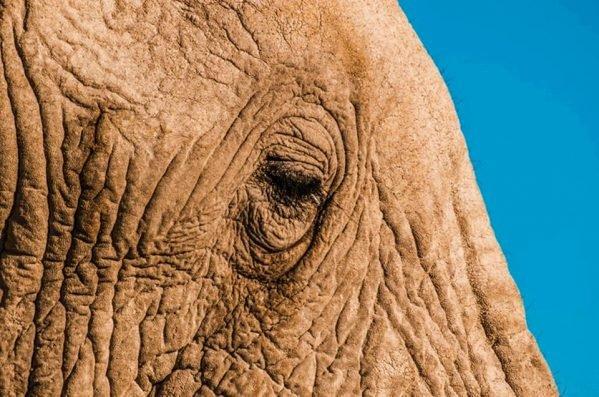 Foco no olho de um elefante