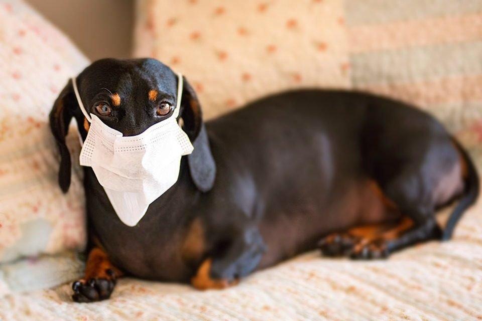 Pets de máscara coronavirus