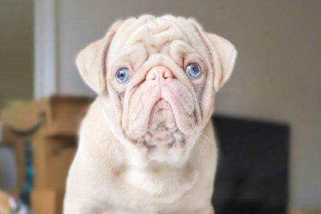 Cachorro da raça pug albino pets