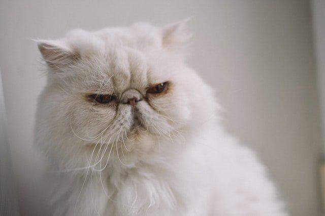 Gato da raça persa é o bicho