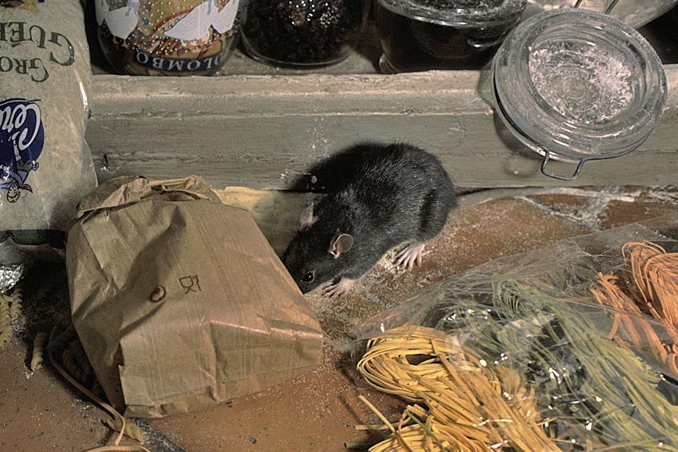 Rato revira comida