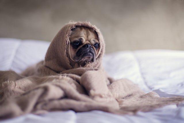 Cachorro com cobertos pets é o bicho