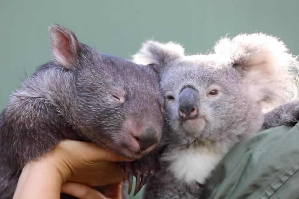 A coala Elsa e o Vombate Hope