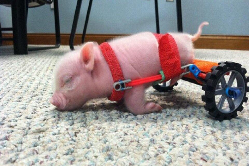 Conheça Chris, o porquinho de cadeira de rodas que faz sucesso na web