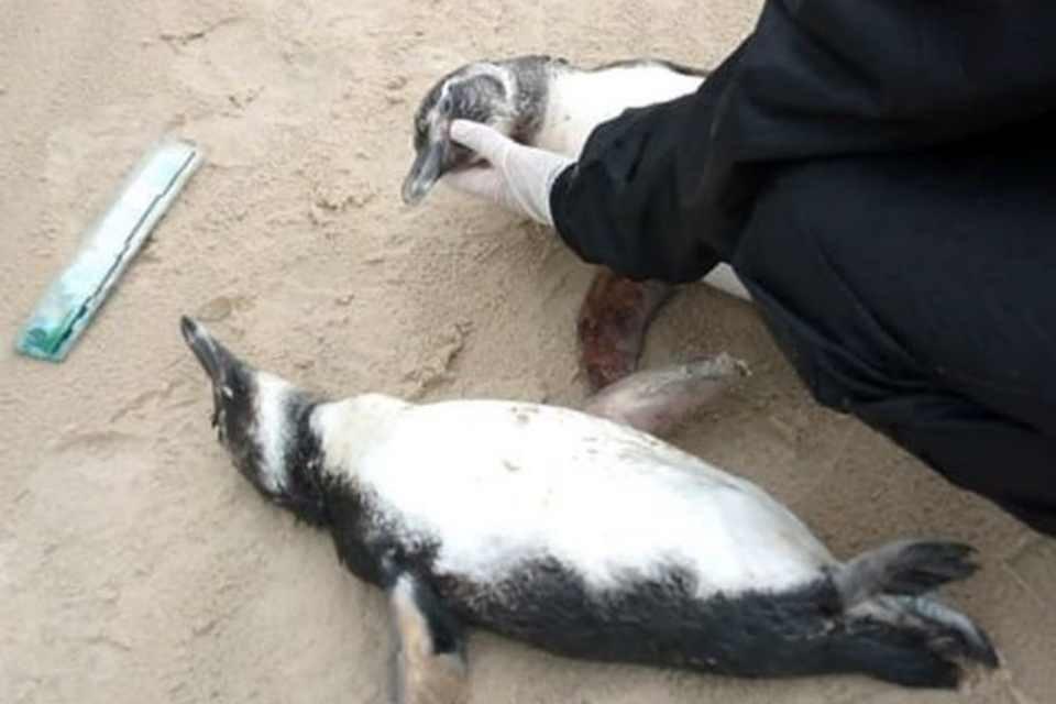 pinguins mortos SC