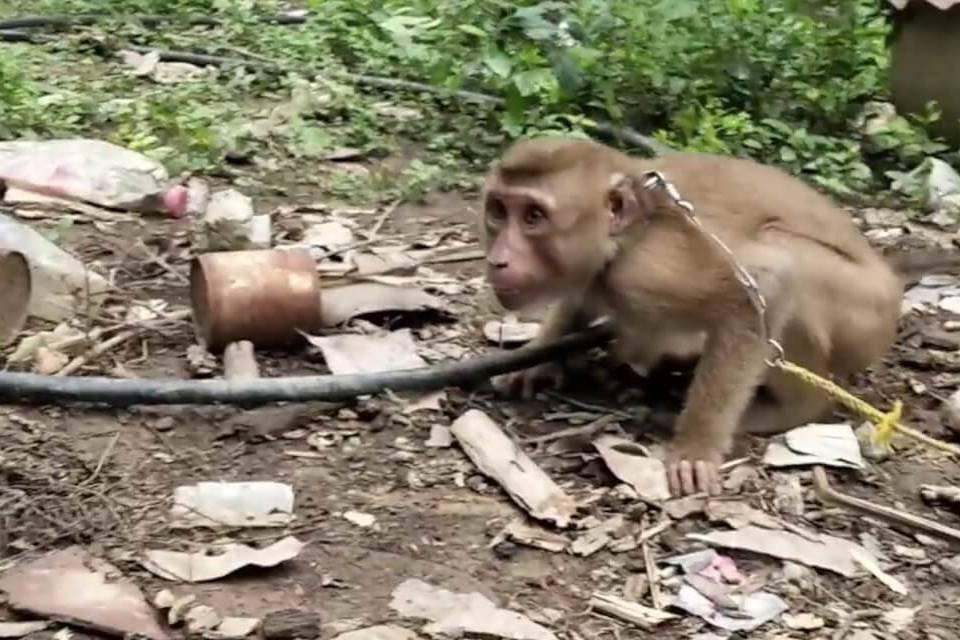 Macaco acorrentado no lixo