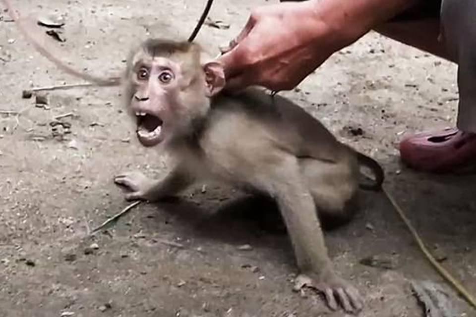 Macaco sendo acorrentado