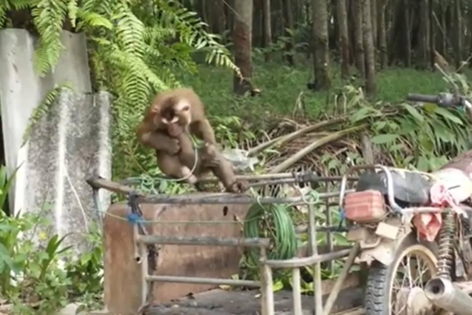 Macaco isolado