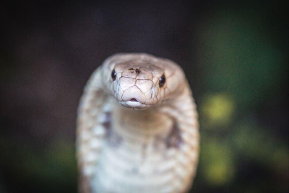 ensaio com naja zoológico de Brasília