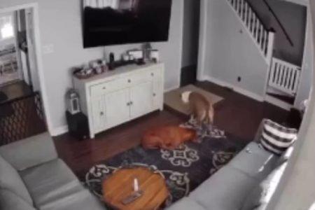 Cachorro ajudando irmão doente
