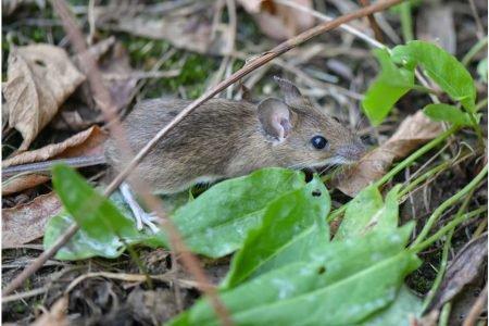 Rato do campo