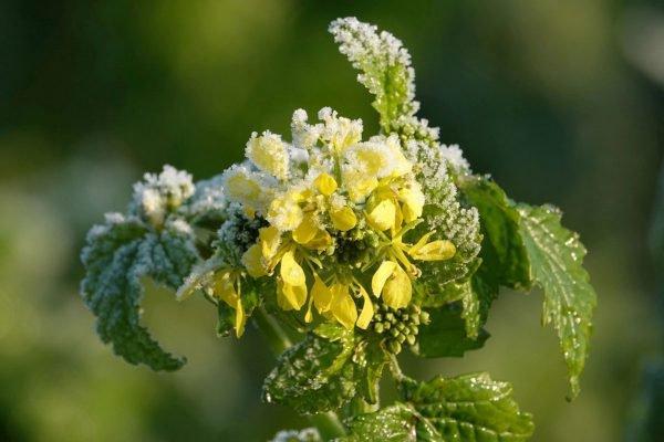 planta da mostarda