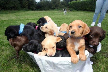 Ninhada de cães Collie e Setter irlandês