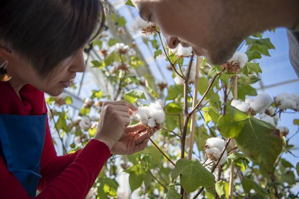 Equipe de pesquisa de algodão da CSIRO