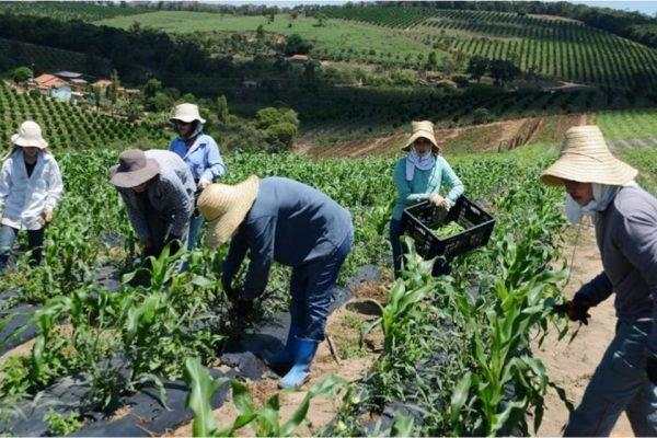 Pessoas-trabalhando-em-colheita-minas