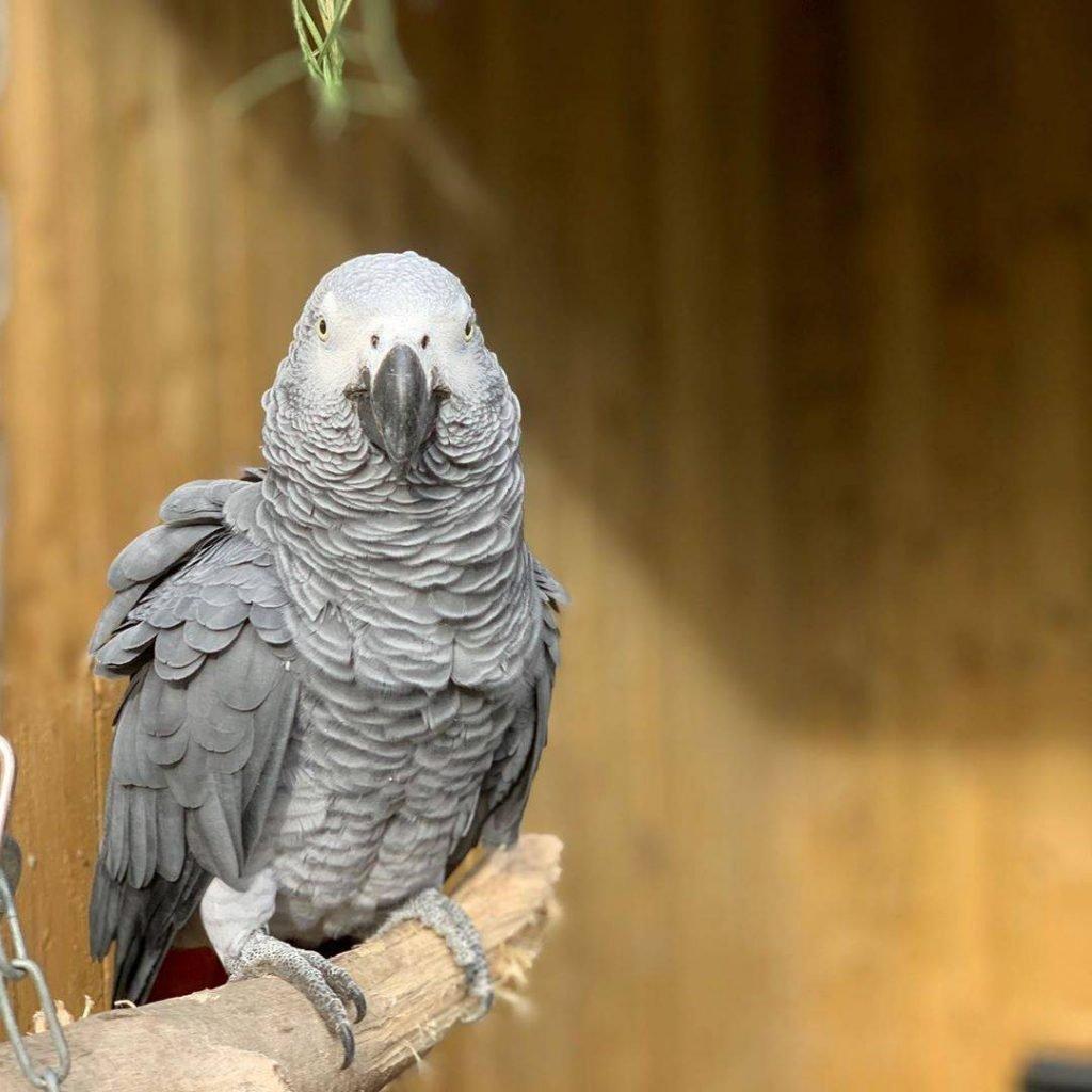 Papagaio-cinza africano