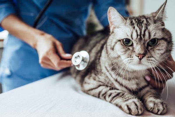 Gato sendo examinado por veterinário