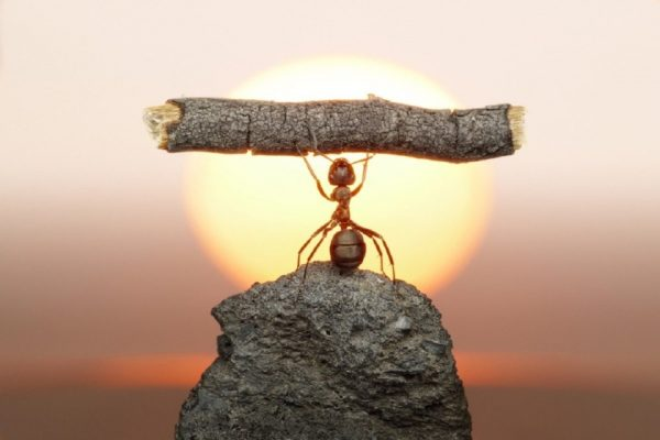 Formiga levantando pedaço de pau