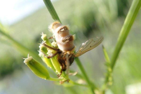 Fungo transforma moscas em zumbis
