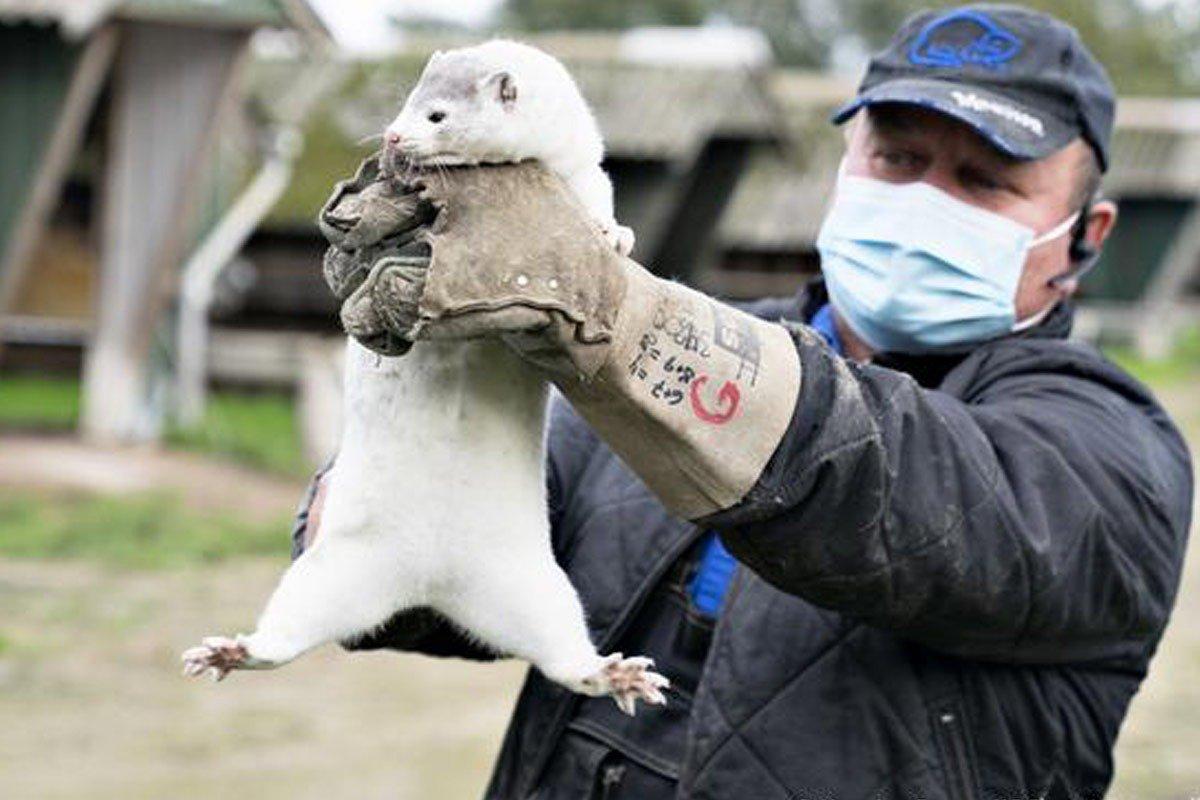 Homem segura vison. Animais serão abatidos na Dinamarca