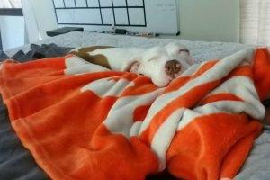 Cachorra dorme sobre cobertas