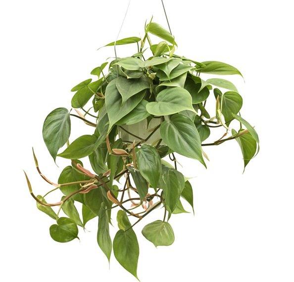 planta pendurada em vaso
