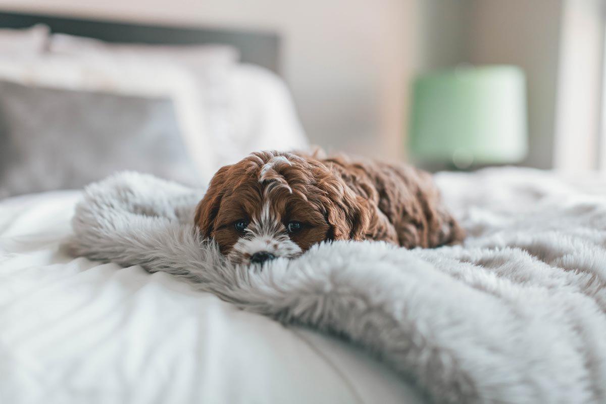 Cachorro deitado na cama