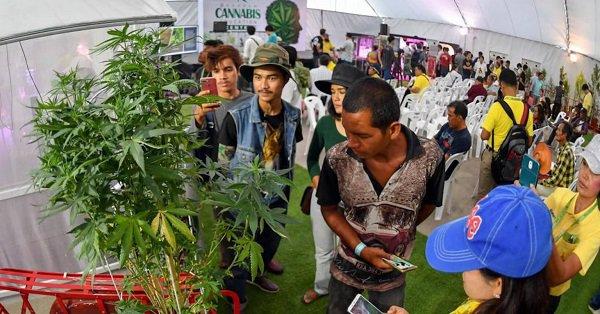 pessoas olhando plantas de cannabis