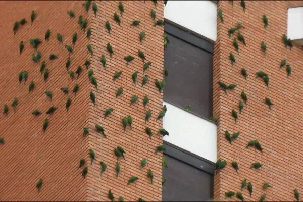 Maritacas em prédio de São Paulo
