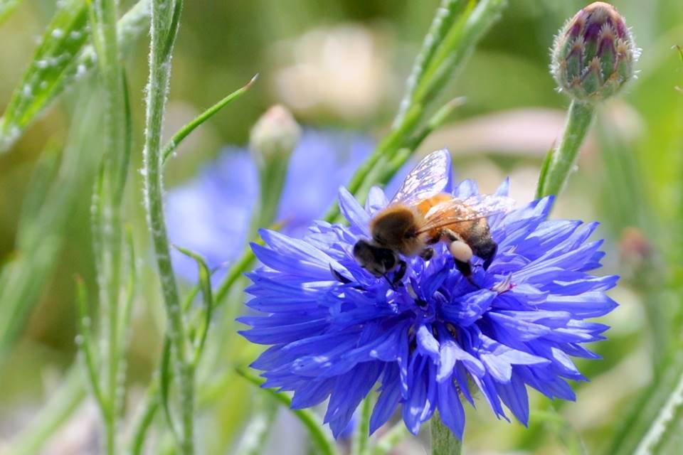 Abelha e flor azul