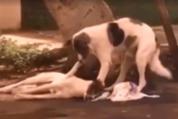 cão ajuda outro cão atropelado